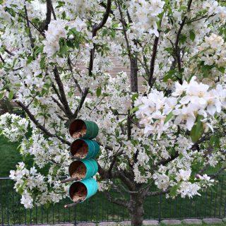 DIY tin can bird feeders on a white flowering tree