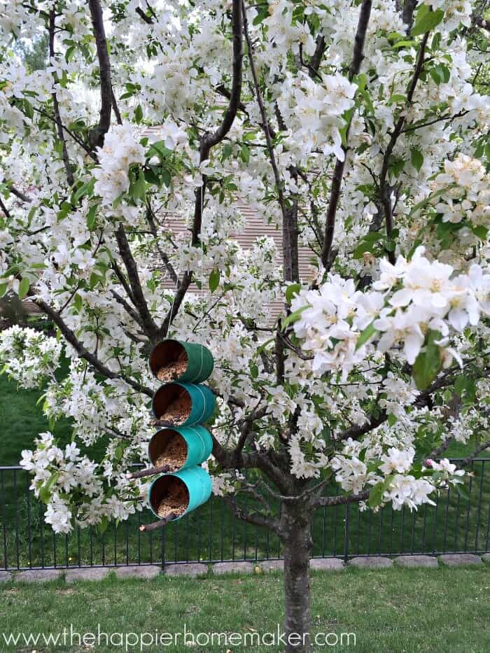 DIY tin can bird feeders on a white flowering tree