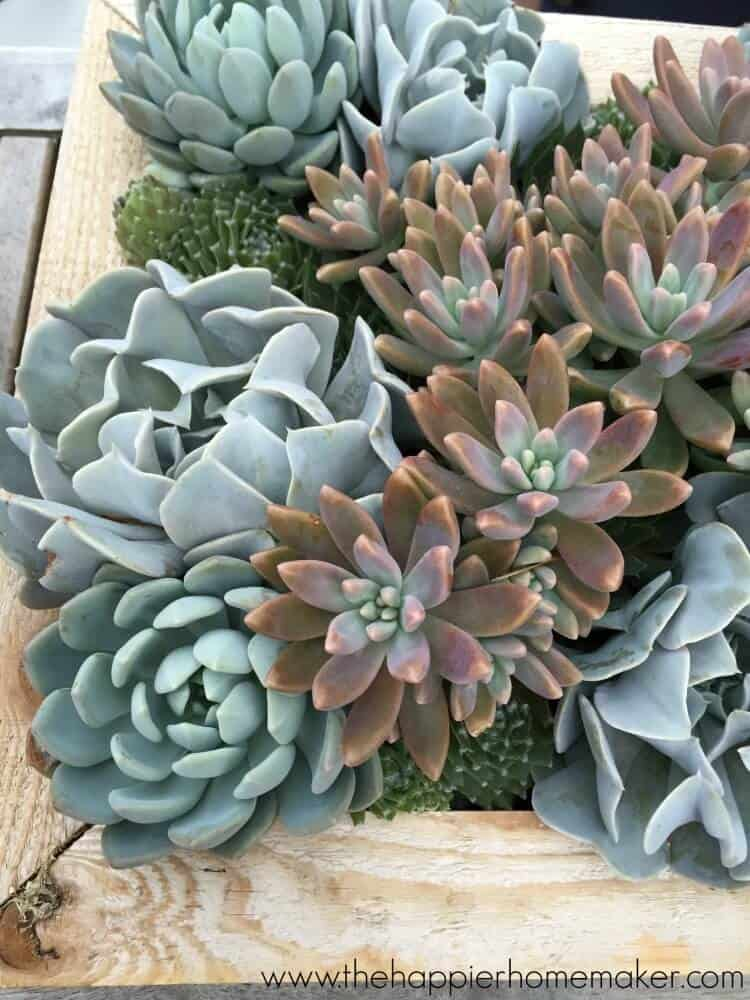 crowded succulents