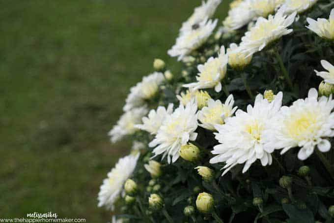 A close up of white flowers