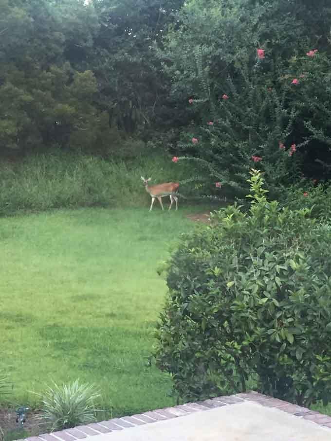 A deer in bakyard