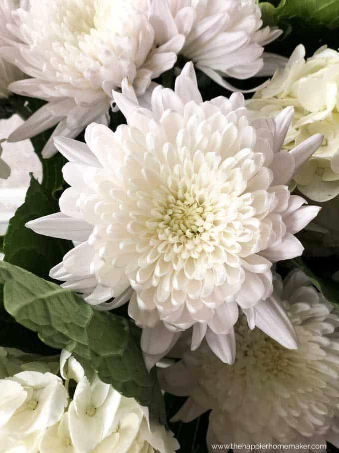 A close up of a white mum flower