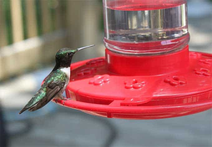 Homemade Hummingbird Nectar Recipe