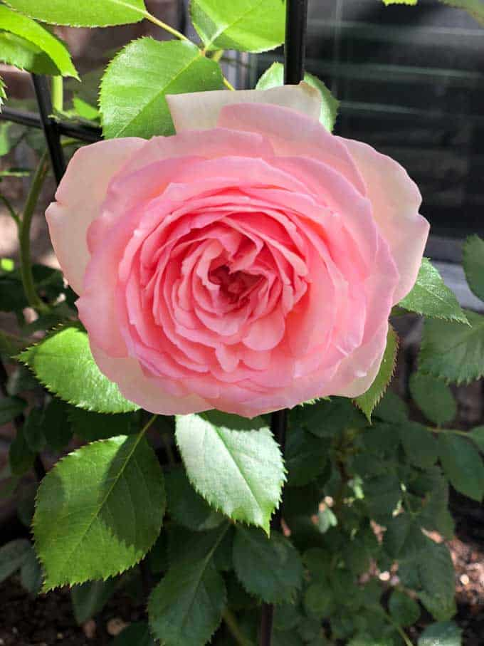 Roses Can Survive Without Fertilizer But To Truly Let Them Thrive And Show Their Stuff You Absolutely Have Learn How Fertilize Properly