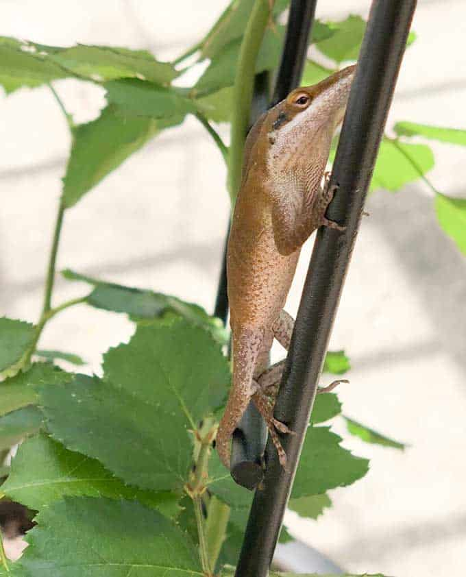 An anole lizard sitting on a branch