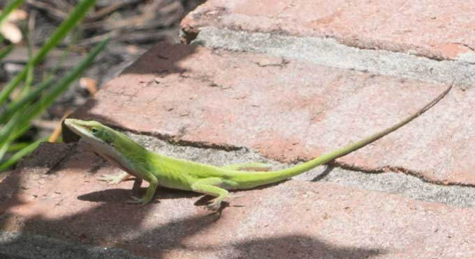 A close up of an anole lizard on brick