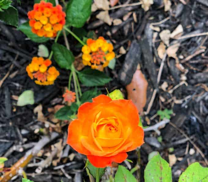 A close up of a flower garden with lantana and orange rose