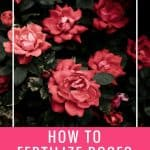 how to fertilize roses text rose bush