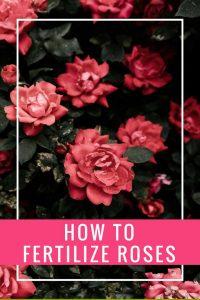 how to fertilize roses text rose bush