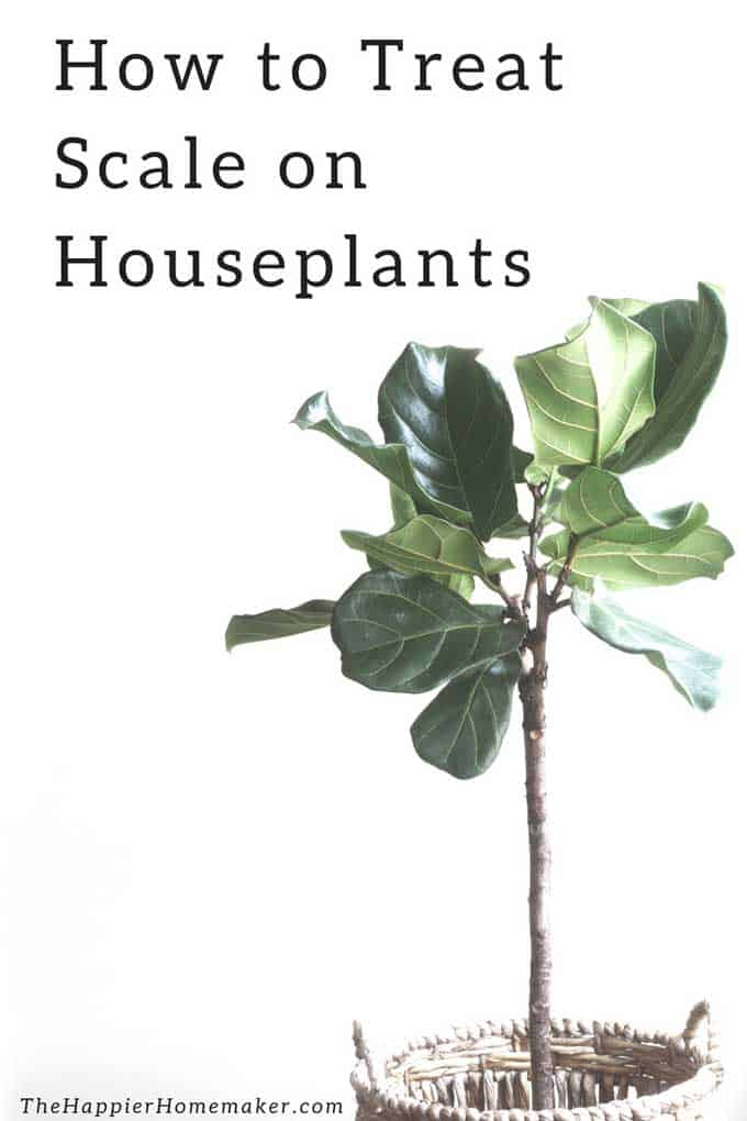 how to treat scale on houseplants