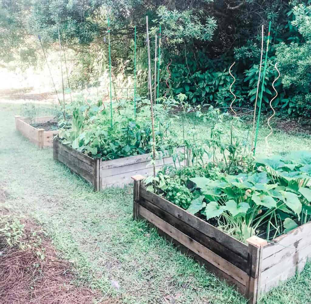 three raised garden beds in grass with vegetables planted in them